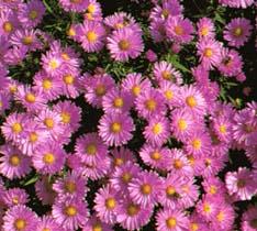 Aster novae angliae settembrini - Settembrini fiori ...